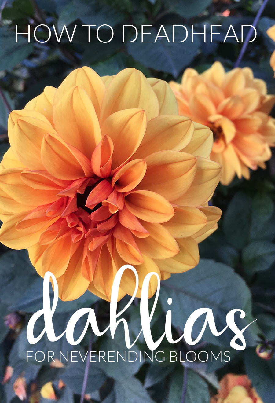 How To Deadhead Dahlias For Blooms All Season Long The Impatient
