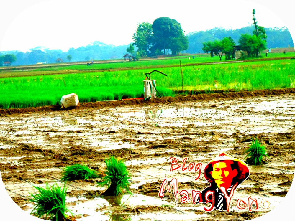 Penyemprotan Keong Emas yang merajalela pada tanaman padi