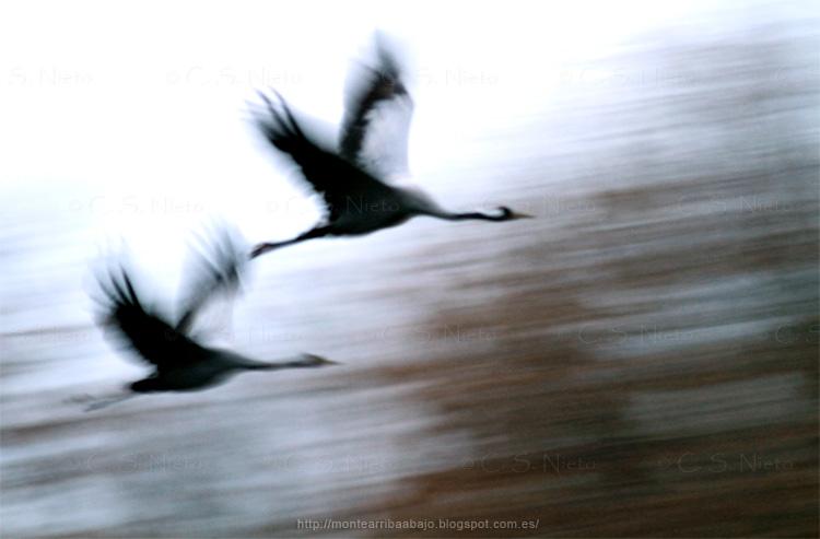 Grullas en vuelo en el embalse de Rosarito