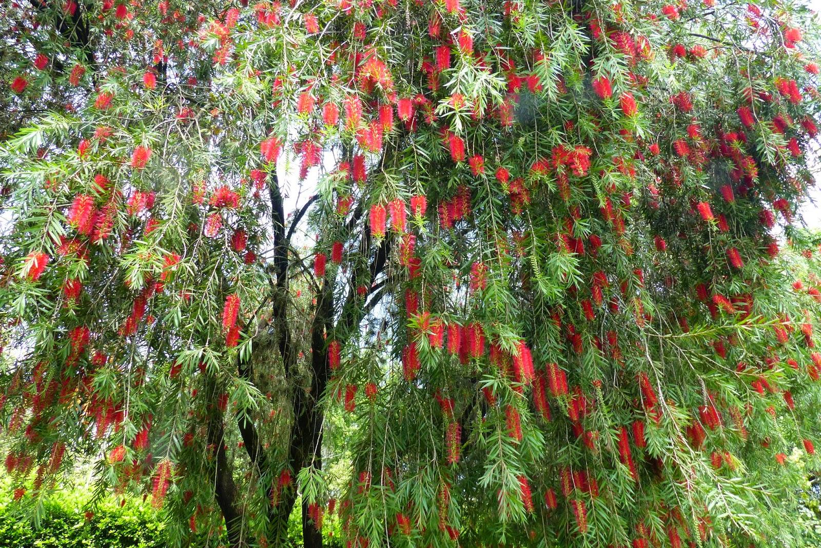 Juan conde p jaros y naturaleza for Arbol rojo jardin