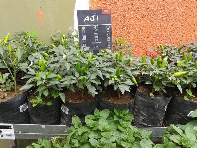 Cultivodeplantasenperu plantas ornamentales en maestro for 6 plantas ornamentales