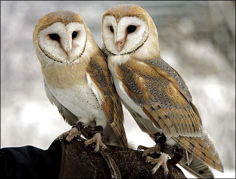 barn owls - photo #23