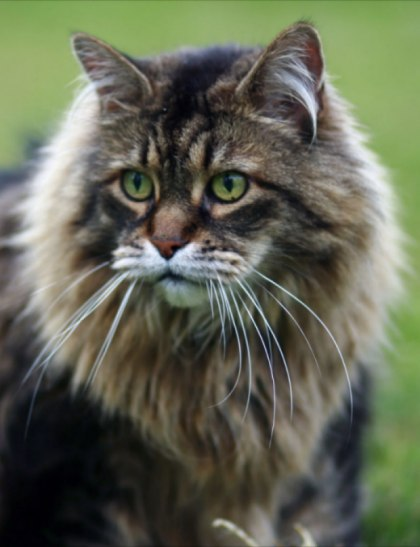 the cat blog cat breeds maine coon cat. Black Bedroom Furniture Sets. Home Design Ideas
