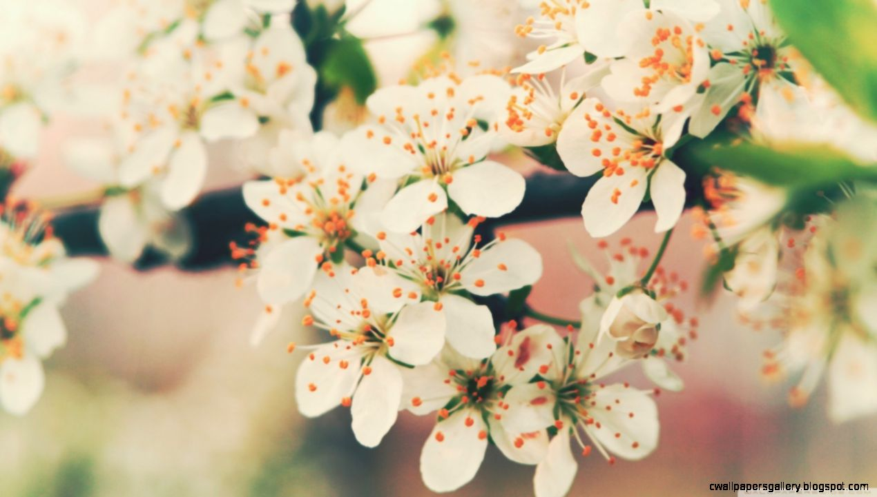 Cherry Flowers HD desktop wallpaper  High Definition  Fullscreen