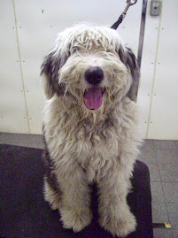 OLD ENGLISH SHEEPDOG OF THE WEEK