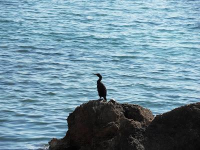 Black heron type bird at Ibiza