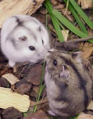Hamster Anão