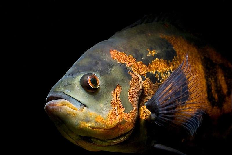 Akvaryum astronot balığı hakkında bilgi