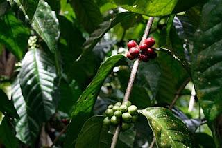 Planta de café Luwak, Bali.