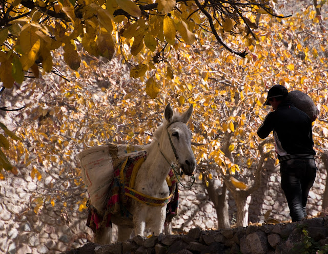 Donkey in Autumnal Trees, Imlil, Morocco