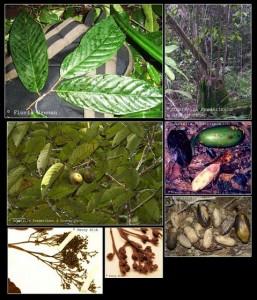 Bulian Tanaman Tanaman Langka di Indonesia