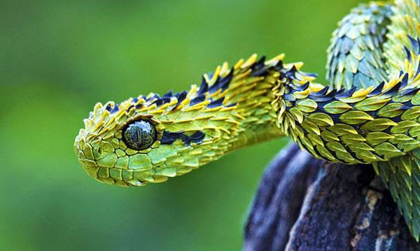 Animals You May Not Have Known Existed - The Bush Viper