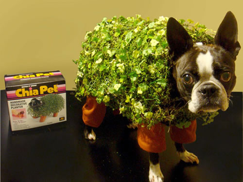 cachorro halloween boston terrier chia pet