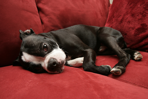 Boston Terrier dogs - Pets Cute and Docile