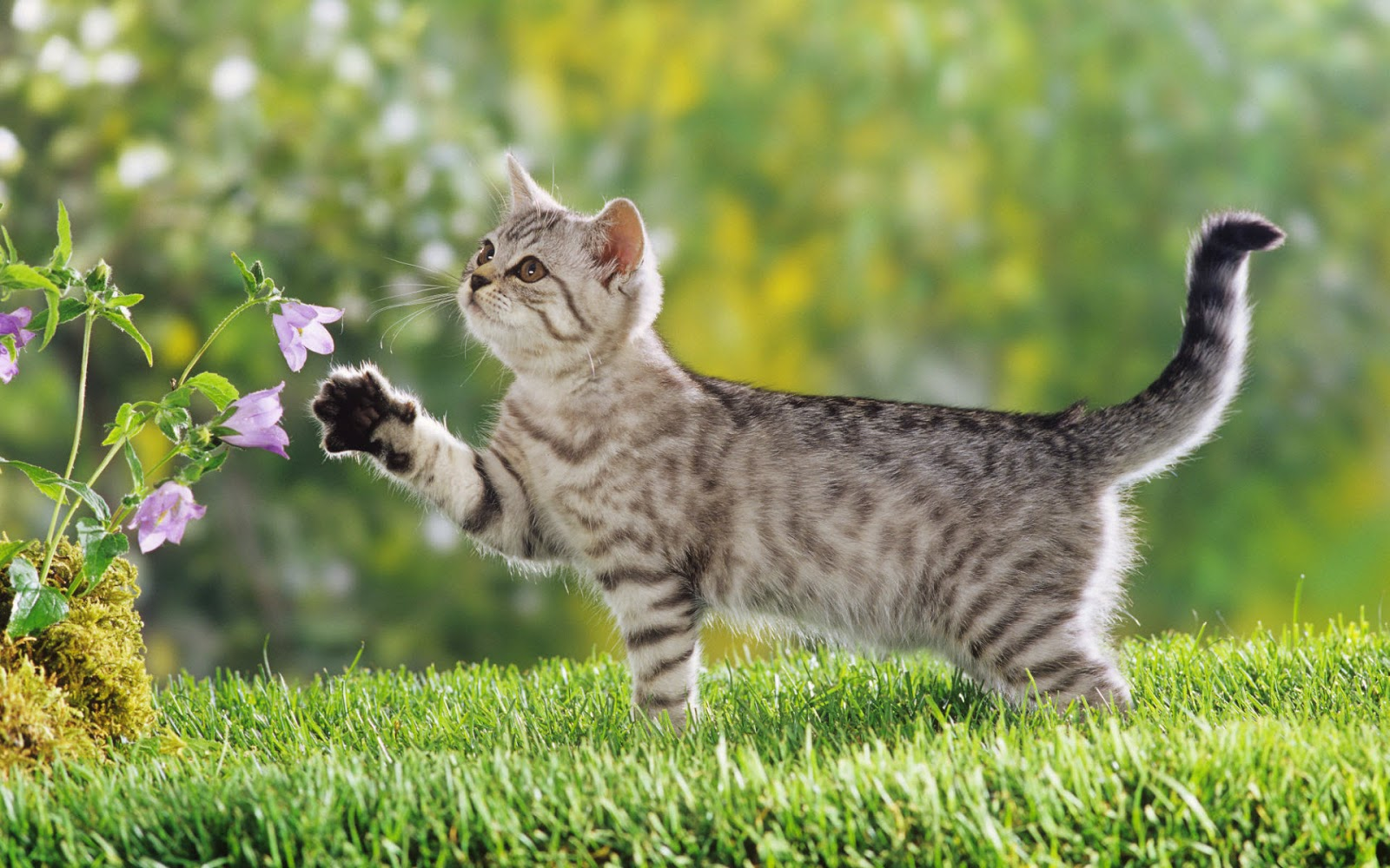American Shorthair Cat Tabby | Funny Cat Wallpapers, Pictures ...