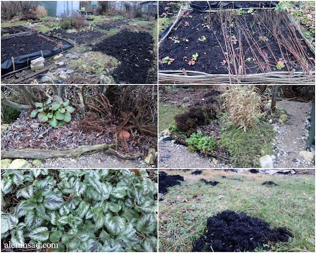 ноябрь, сад, огород, мангольд, примула, салат, мята, лук, аленин сад, яснотка, кучки водяной крысы, земляника, уголок в тени