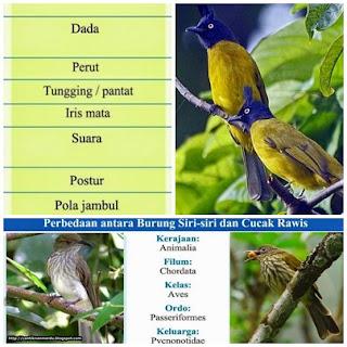 Cara membedakan burung siri siri dan cucak rawis
