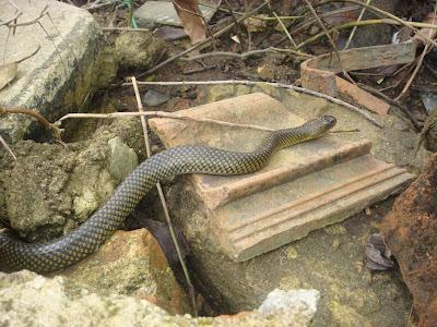 Foto da Semana: Cobra Mata Atlântica: Cobra d'água (Liophis miliaris)