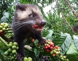 Gatos de algalha ou Kopi Luwak que da sabor e aroma ao café