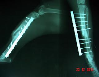 osteogenesis fijador fessa en gato