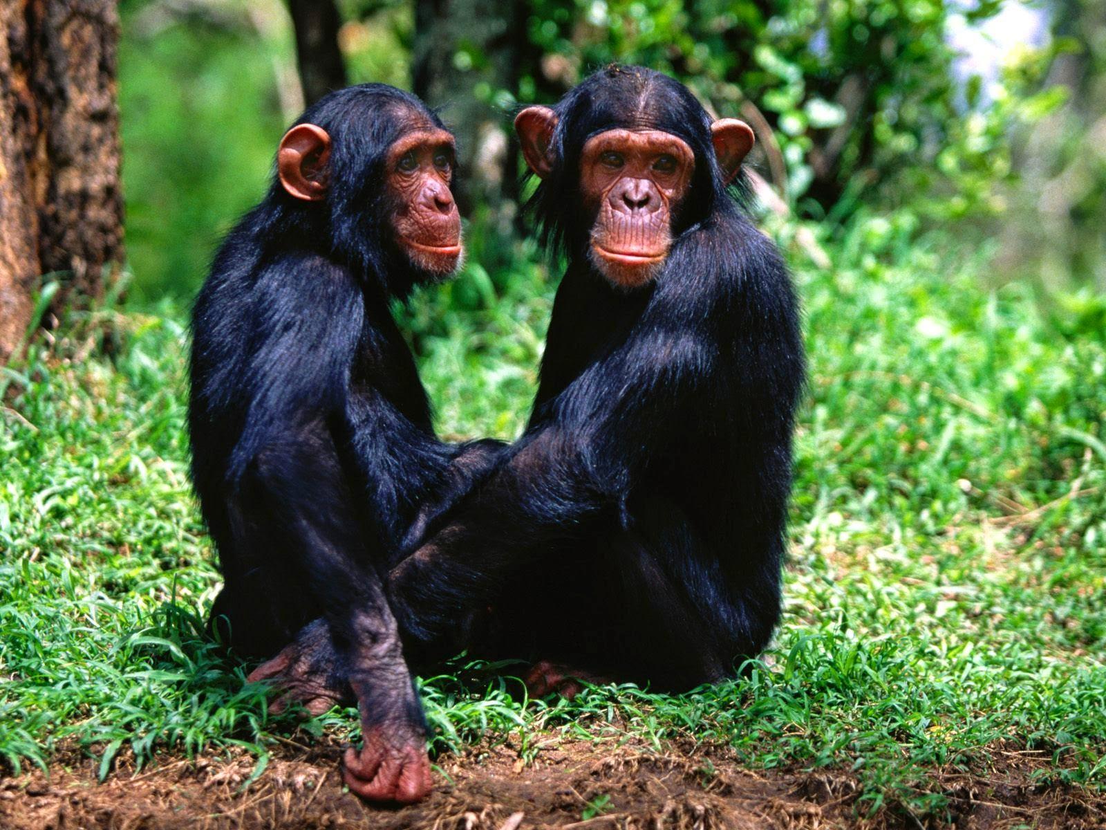 Animal Monkey Couple HD wallpaper