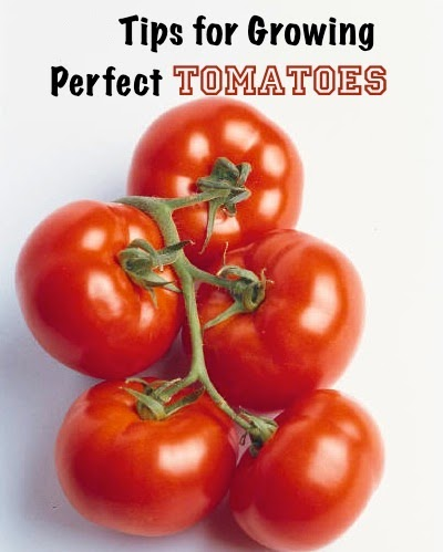 gardening tips for growing perfect tomatoes my
