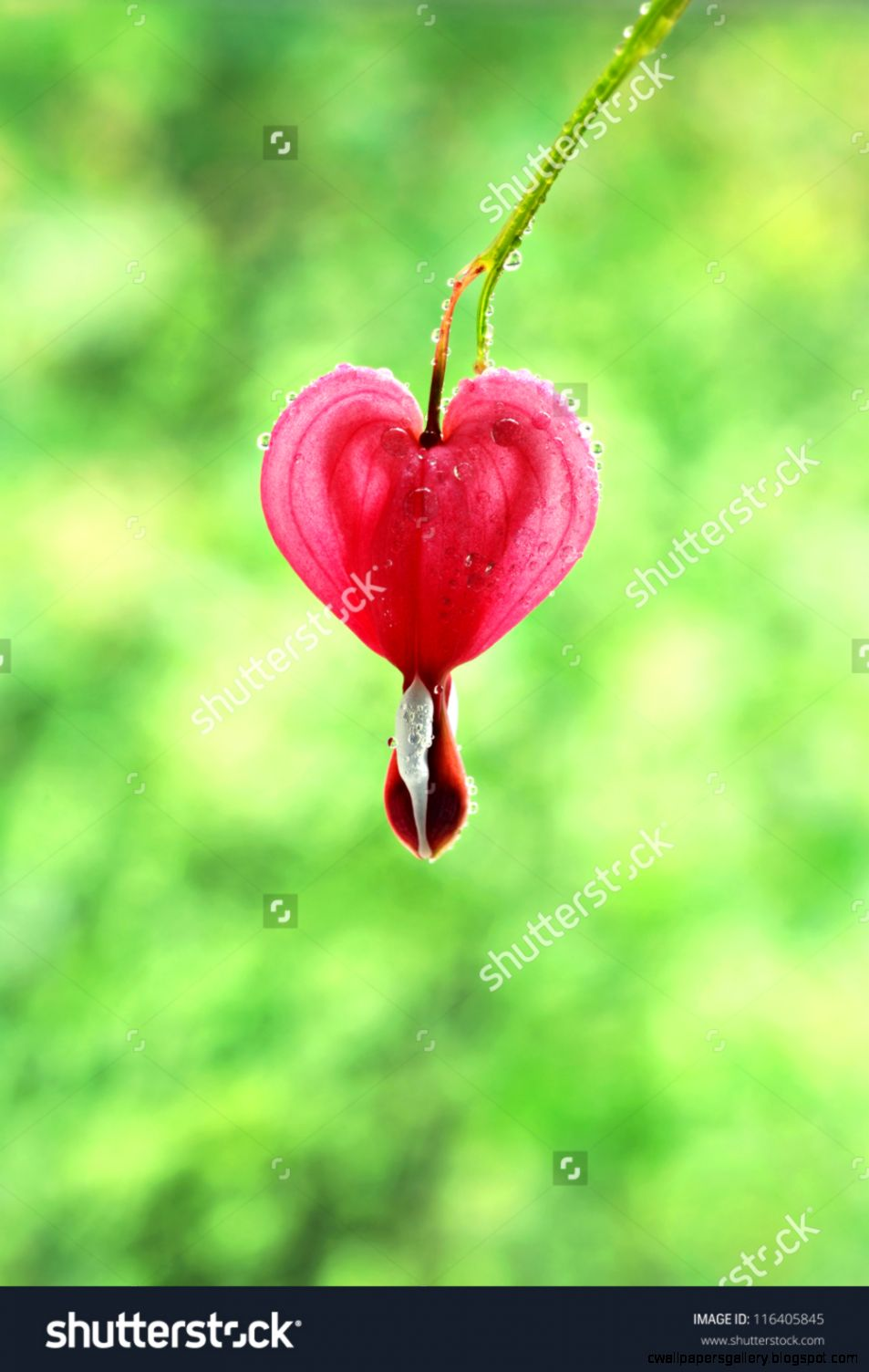 Single Bleeding Heart Flower Blossom With Water Droplets Macro