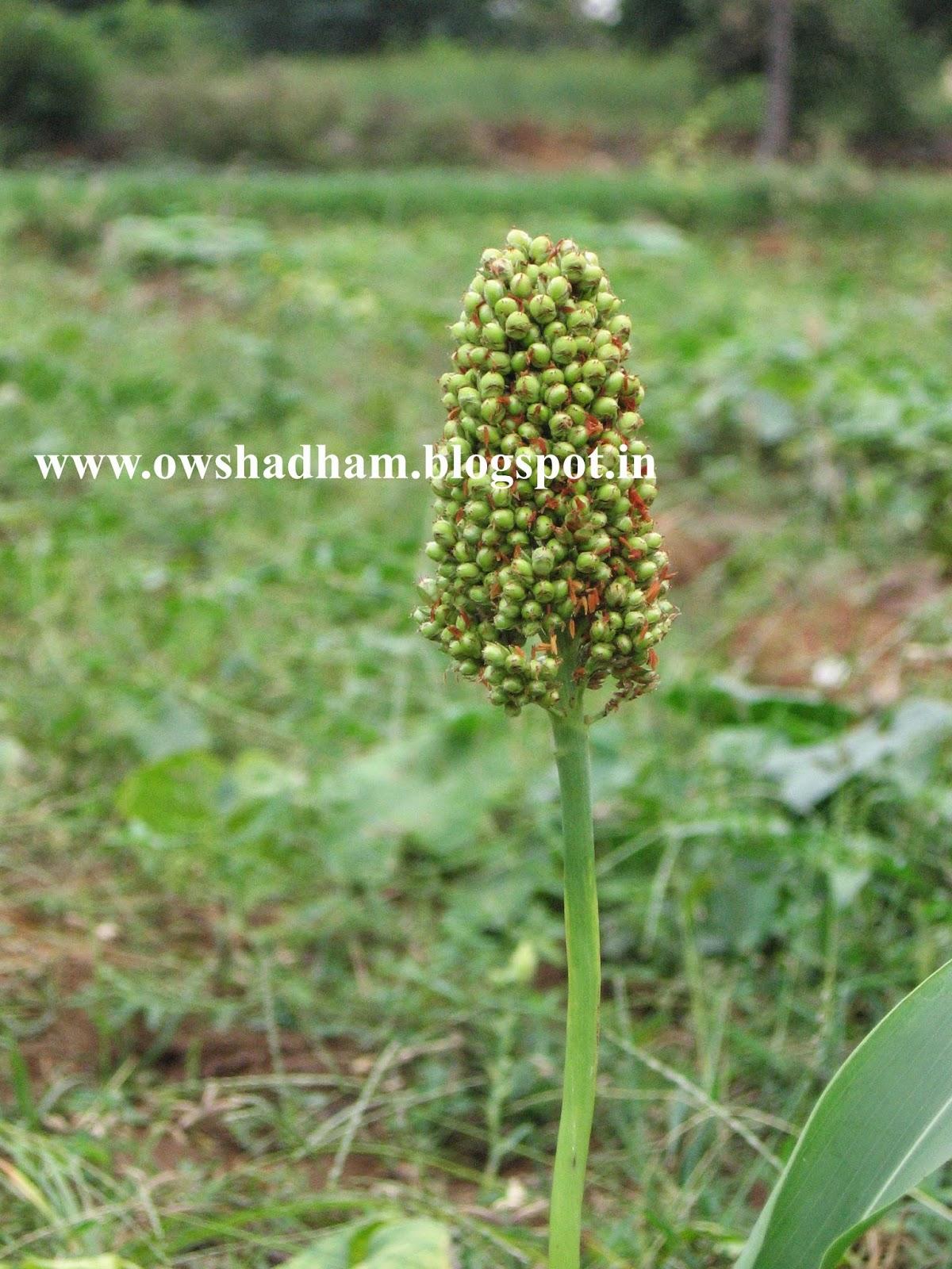 சோளம் மருத்துவ பலன்கள் - ஔசதம் - owshadham