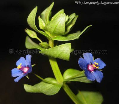 Scarlet Pimpernel Flowers