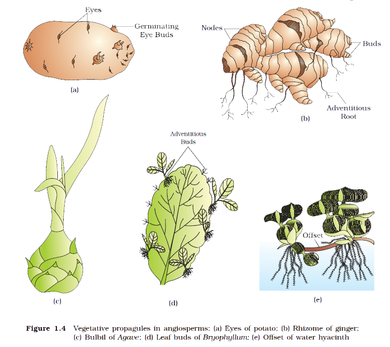 How do plants reproduce asexually foto 43