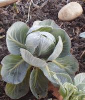 Chou caillou pour une bonne année jardinière !