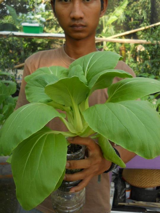 contoh tanaman hidroponik sawiTanaman Sawi