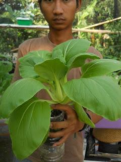 contoh tanaman hidroponik sawi