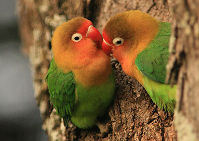Beautiful African Love Birds 5