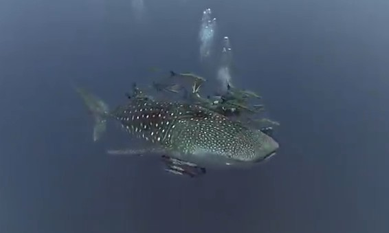 Biggest whale shark ever seen - photo#20