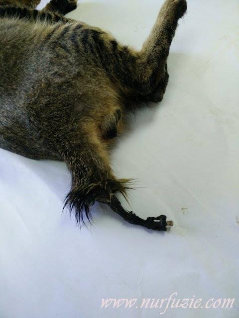 kucing berulat di kaki