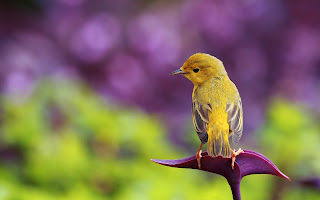 Cute Yellow Little Bird HD Wallpaper