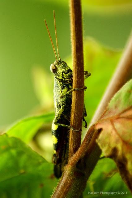 grasshopper-climbing