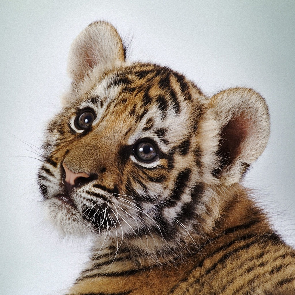 Cute tiger pictures - photo#18