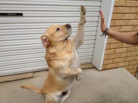 Many Dog Tricks You Should Know High five