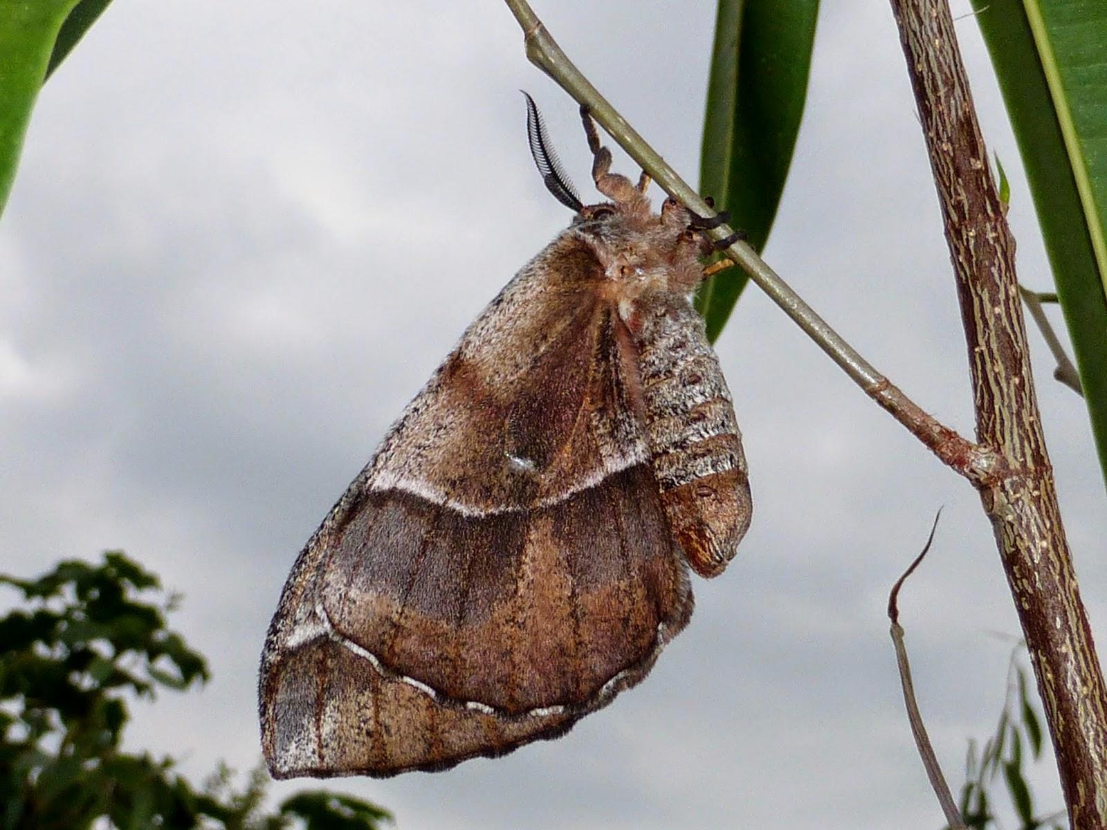 Melanocera menippe female