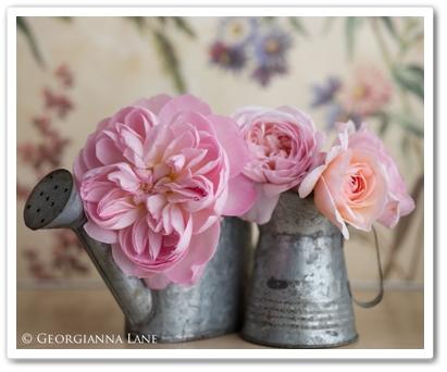 georgianna lane, garden roses, trädgårdsrosor, david austin rosor, david austin roses