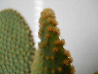 cactus del género de la opuntias