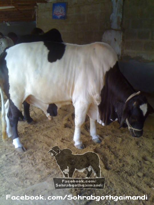 Qurbani Bull For Sale 2013 Cattle Farm pics