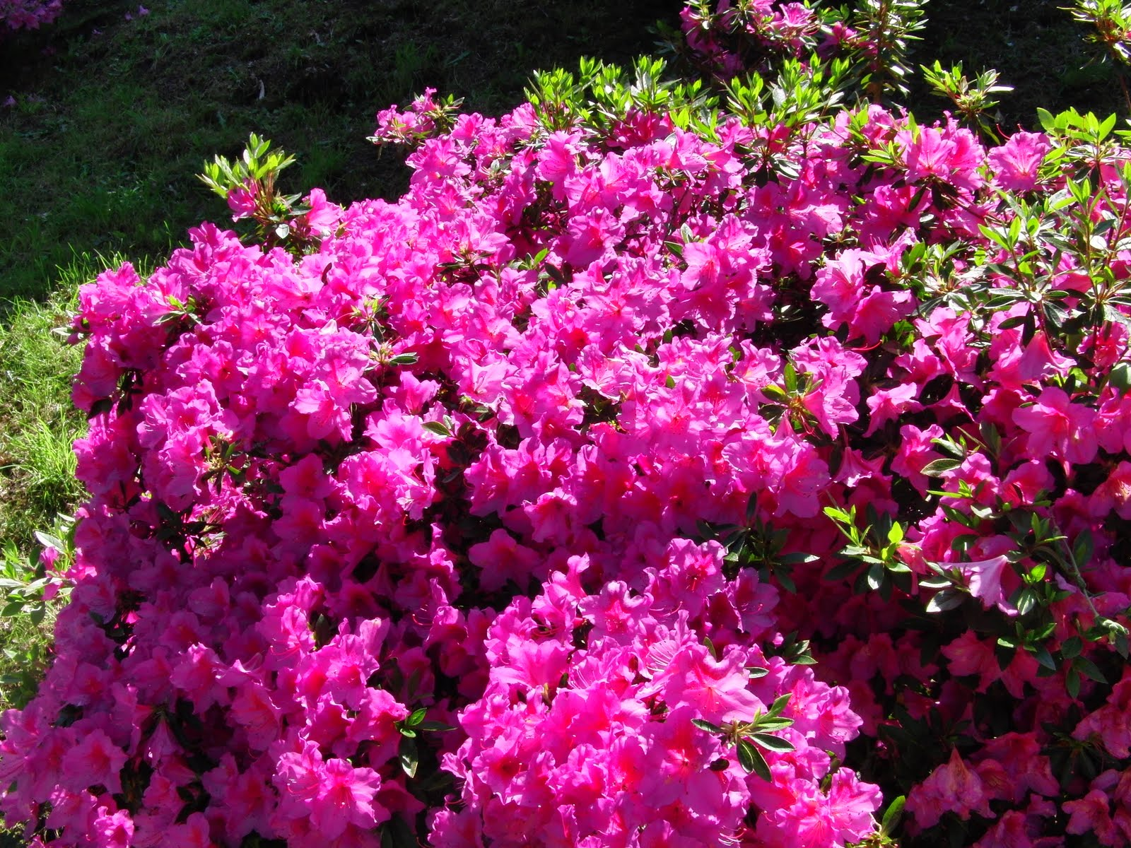 Gallery for pink flowering bushes for Pink flowering shrubs