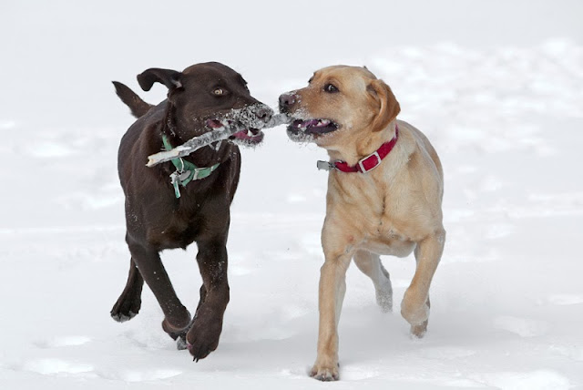 A chocolate and a yellow labrador running with a stick