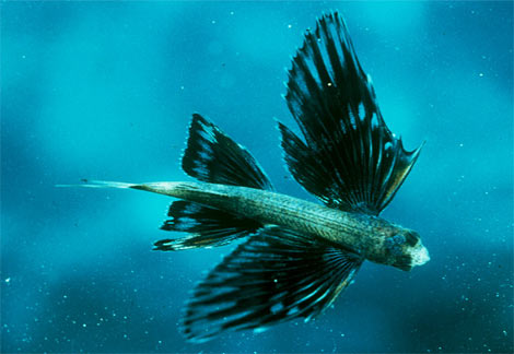 Beautiful Fastest Fish In The World Four-winged Flying Fish