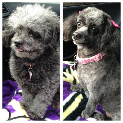 grey toy poodle haircut