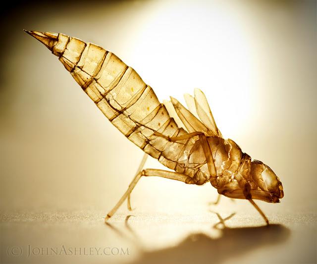 Dragonfly exoskeleton exuviae (c) John Ashley