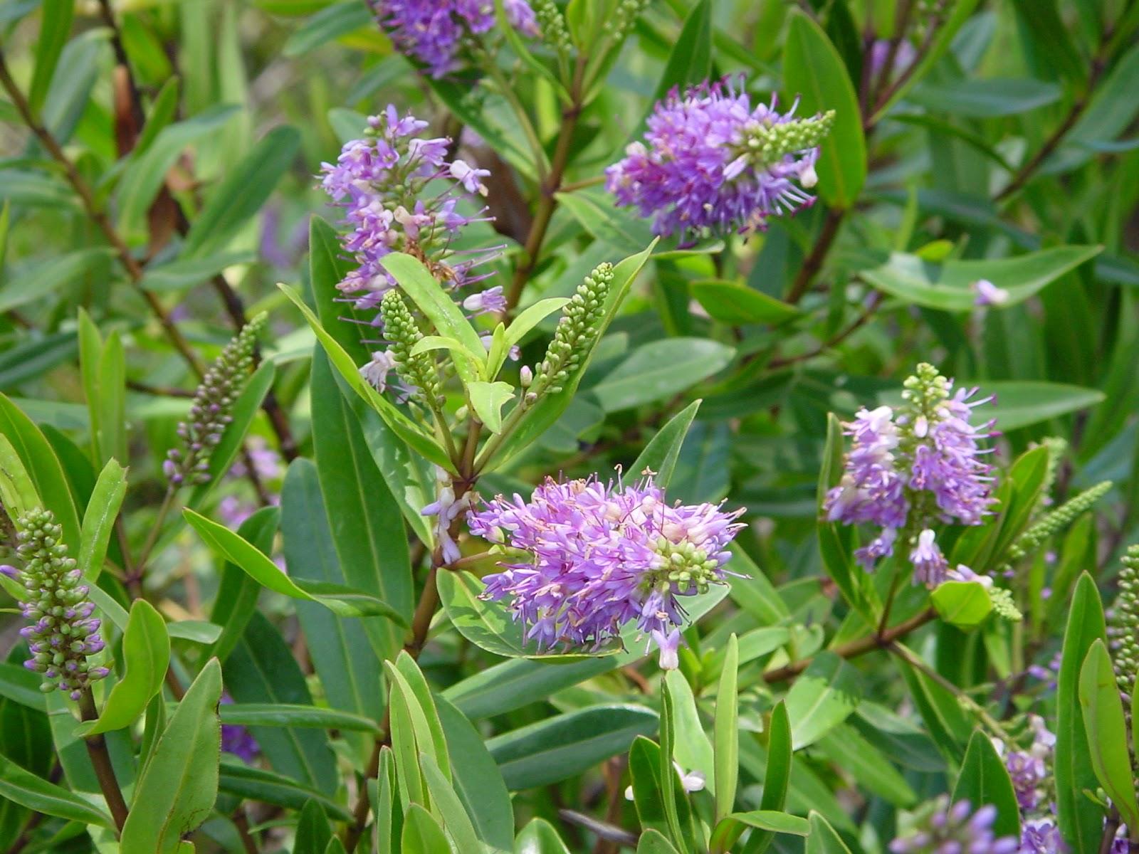 Jardineria eladio nonay jardiner a eladio nonay hebe for Hebe arbusto